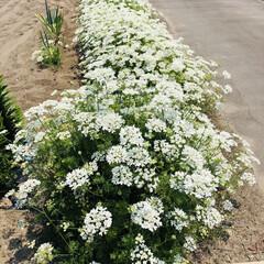オルレア/庭づくり/風景 毎年この時期は、ニラの場所がオルレアが占…