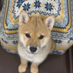 犬と暮らす/わんちゃん/うちの子ベストショット/リミアペット/柴犬/フォロー大歓迎/... 寒い日には暖かいお家でぬくぬく☺️ 柴犬…