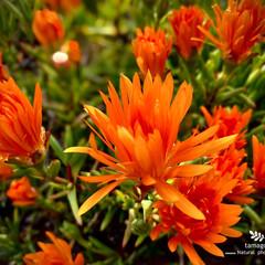 松葉菊/マツバギク/植物観察日記 マツバギク(松葉菊)  橙色の可愛らしい…