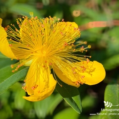 美容柳/ビヨウヤナギ/植物観察日記 ビヨウヤナギ【美容柳】  一気に咲き出し…