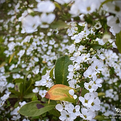 植物観察日記/雪柳/ユキヤナギ ユキヤナギ(雪柳)  まだ、満開ではなく…(1枚目)