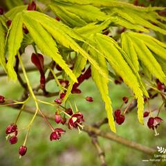 植物観察日記/モミジ/紅葉の花 モミジ(紅葉)  紅葉がこんなに可愛らし…