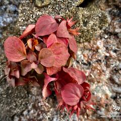 植物観察日記/コナスビ/冬のコナスビ コナスビ  ブロックの間から生える雑草で…