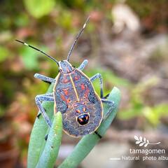 マダラカメムシ/昆虫観察日記 マダラカメムシ  とても不思議な模様のカ…