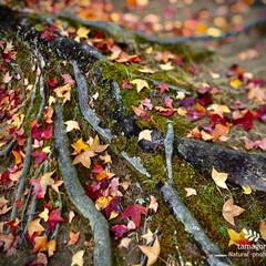 落葉 落葉  ゴツゴツとした根っこの周りに沢山…