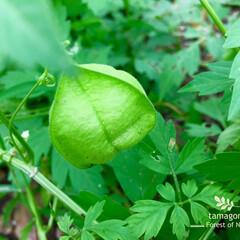 自然観察/フウセンカズラ/おでかけワンショット/植物観察日記/雨の降る日 フウセンカズラ  提灯みたいで面白くって…