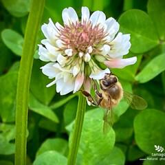 白詰草と蜜蜂/植物観察日記 白詰草と蜜蜂  お食事中の蜜蜂さんですね…