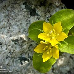 コナスビ/植物観察日記/小茄子 コナスビ【小茄子】   日陰の様な小さな…