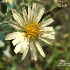 秋の野芥子/植物観察日記/自然観察日記/iPhone6s plus/アキノノゲシ/おでかけ アキノノゲシ(秋の野芥子)  キク科植物…