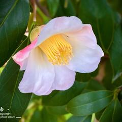 植物観察日記/椿/佐保川散策 佐保川散策・椿  少しピンク色が入った椿…