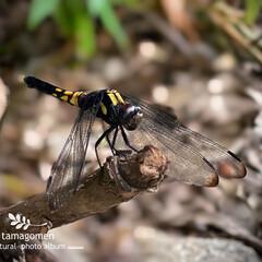 シオカラトンボ/昆虫観察日記 シオカラトンボ  雌のシオカラトンボなの…