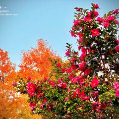 山茶花/植物観察日記 サザンカ(山茶花)  紅葉に映える山茶花…
