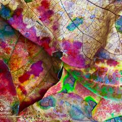 iPhone6s plus/自然観察日記/植物観察日記/色彩美/紅葉 紅葉  自然が作る色彩美ですね (・∀・)