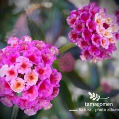 植物観察日記/ランタナ/七変化 ランタナ【七変化】  まだまだ咲いてる〜…