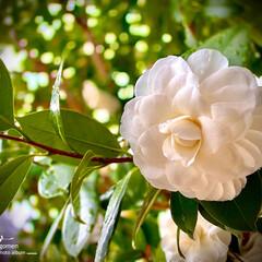 植物観察日記/白椿 ツバキ(白椿)  白椿も良いですね- (…