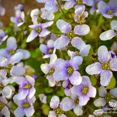植物観察日記/バイオレットクレス バイオレットクレス  可愛らしく沢山咲い…(1枚目)