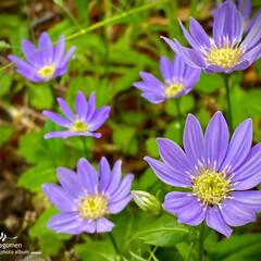 ミヤコワスレ/植物観察日記 ミヤコワスレ  何処か寂しげなお花ですね…(1枚目)