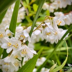 ウツギ/植物観察日記 ウツギ  今日はとても良いお天気ですねー…(2枚目)