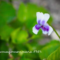 OLYMPUS PEN E-PL10/パンダスミレ/植物観察日記 パンダスミレ  可愛らしいお花咲いてた。…(1枚目)