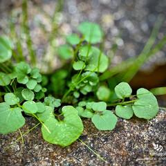 植物観察日記/雑草/佐保川散策 佐保川散策・雑草  ロゼット状の雑草です…