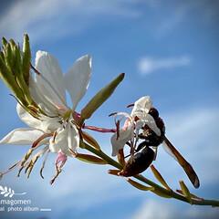 ハクチョウソウ/ガウラ/植物観察日記/白蝶草 ハクチョウソウ【白蝶草】  白蝶草の蜜を…