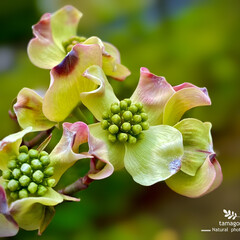 植物観察日記/花水木・白/花水木 ハナミズキ(花水木)  おはようございま…