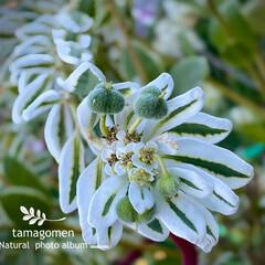 初雪草 氷河/ユーフォルビア/植物観察日記 ユーフォルビア【初雪草 氷河】  お花と…