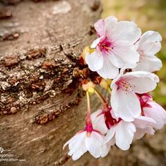 自宅近くの公園/サクラ/植物観察日記/桜/ソメイヨシノ/染井吉野 ソメイヨシノ(染井吉野)  今、桜が咲い…
