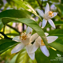 植物観察日記/青柚子/アオユズ/青柚子の花 ユズ【青柚子】  青柚子の花が咲き出しま…