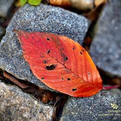 佐保川/桜落葉/自然観察日記/植物観察日記/おでかけ 桜落葉  石畳の上の桜落葉です 私は毎回…