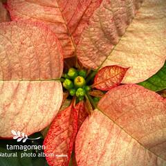 ポインセチア/植物観察日記 ポインセチア  最近は色々な種類も増えま…