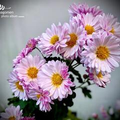 植物観察日記/実家の庭/小菊 小菊  淡いピンク色が可愛らしいです-(…