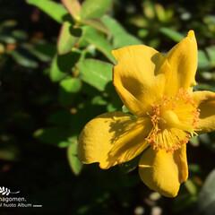 我が家の小さな庭花/iPhone6s plus/自然観察日記/植物観察日記/金糸梅/キンシバイ キンシバイ(金糸梅)  午前と午後の温度…