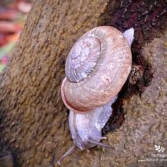 生き物観察日記/自然観察日記/木斛の木と蝸牛/おでかけ/モッコク/カタツムリ 木斛と蝸牛  雨降りの一日でした 木斛の…