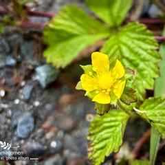 ヘビイチゴ/蛇苺の花/植物観察日記 ヘビイチゴ【蛇苺】  アスファルトを這う…