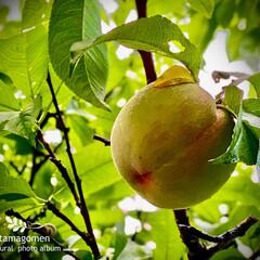 ハナモモ/花桃/植物観察日記/花桃の実 ハナモモ【花桃】  随分と大きくなりまし…