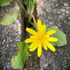 オニタビラコ/自然観察日記/植物観察日記/iPhone11ProMax オニタビラコ(鬼田平子)  コンクリート…