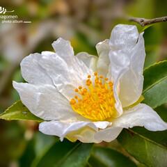 サザンカ/植物観察日記/白い山茶花 サザンカ(山茶花)  白い山茶花が沢山咲…