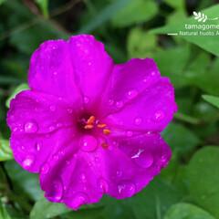 植物観察日記/自然観察日記/ご近所の花/ペチュニア ペチュニア  雨に濡れて綺麗ですね これ…
