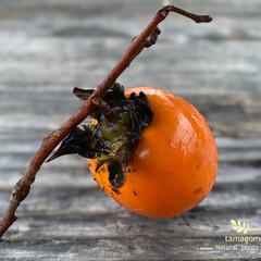植物観察日記/自然観察日記/山柿 ヤマガキ(山柿)  自宅の裏山に山柿がた…