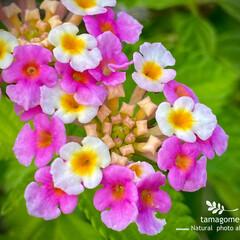 ランタナ七変化/ランタナ/植物観察日記 ランタナ【七変化】  我が家の庭のお花ラ…