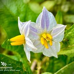 ワルナスビ/悪茄子/植物観察日記 ワルナスビ【悪茄子】  薄紫色の悪茄子も…