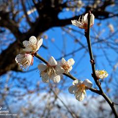 川路桜/佐保川散策 佐保川散策・川路桜  綺麗です- 少しづ…