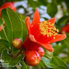 ザクロ/石榴の実/石榴/ザクロの実/植物観察日記 ザクロ【石榴】  花が終わって実になりか…