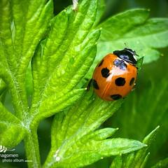 天道虫の成虫と幼虫/七星天道/ナナホシテントウ/昆虫観察日記 ナナホシテントウ【七星天道】  一番よく…