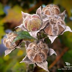 植物観察日記/自然観察日記/木槿の種子 ムクゲ(木槿)  木槿の種子です パンパ…