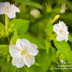 ペチュニア/植物観察日記 ペチュニア  半野生化した白いペチュニア…
