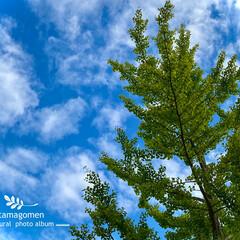 イチョウ/銀杏/植物観察日記 イチョウ【銀杏】  晴れ間から青々とした…