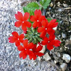 自然観察日記/植物観察日記/バーベナ/赤いバーベナ/おでかけ 赤いバーベナ  ビビットカラーで一際目立…