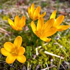クロッカス/植物観察日記 クロッカス  春なんですね ✲*゚ クロ…(1枚目)
